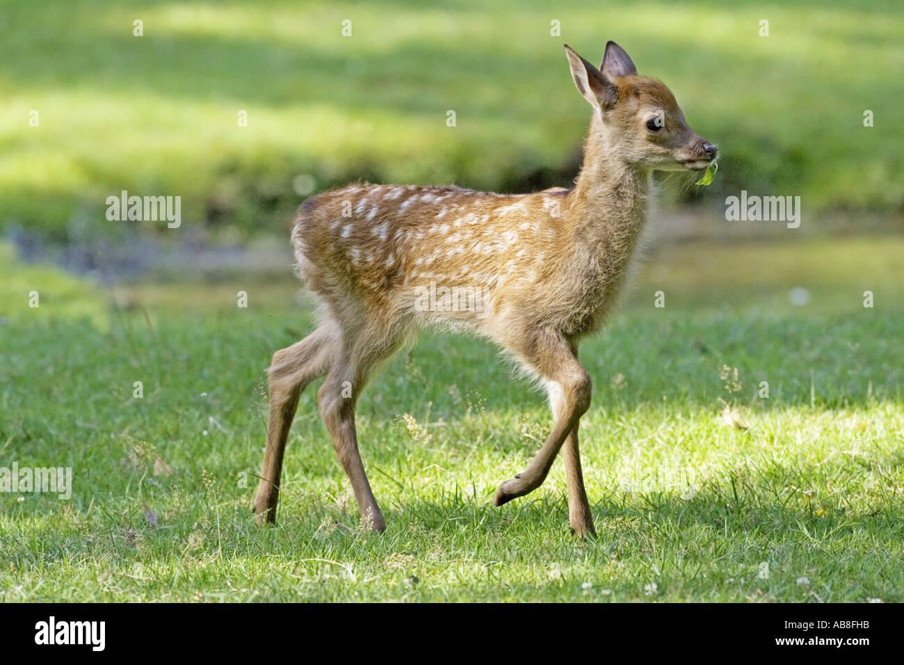 sika deer (Cervus nippon), calf on meadow, Germany, Hesse Stock