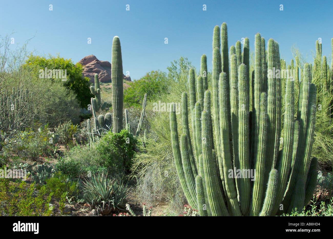 Cactus Garden Landscape In The Desert Botanical Gardens In Phoenix Arizona  USA