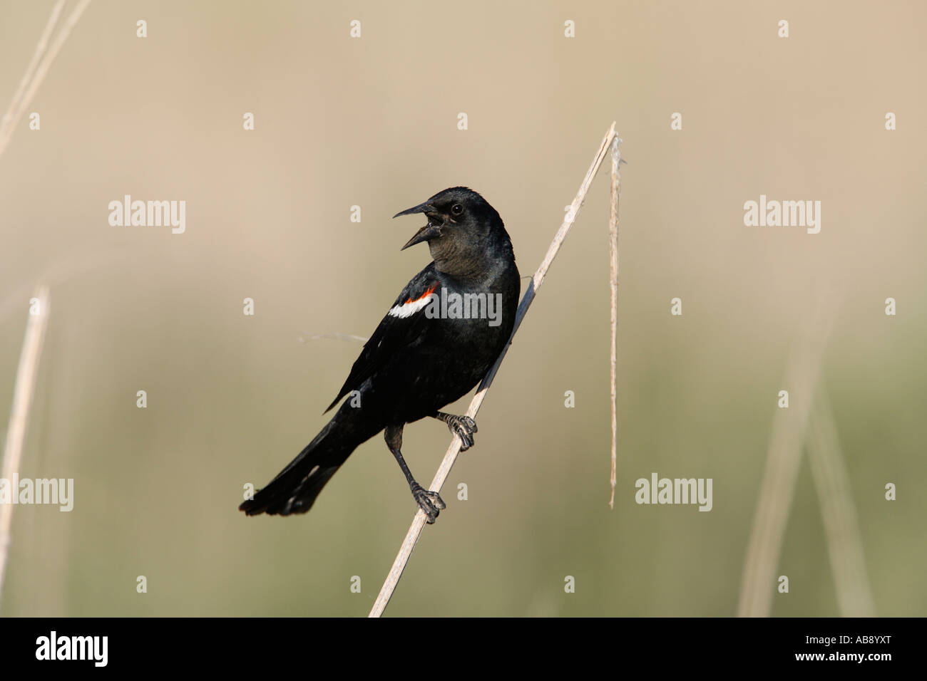 Tricolored Blackbird Singing - Stock Image