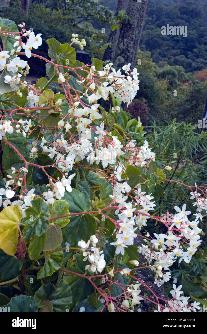 Reddish Brown Branches Bearing Clusters Of Flowers With Four White