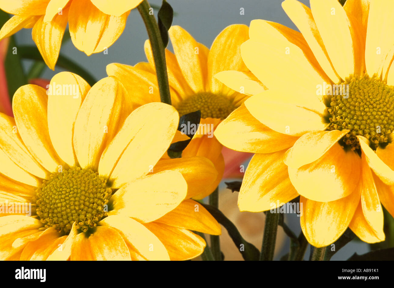 Stylised and Posterised Image of Yellow Chrysanthemums - Stock Image