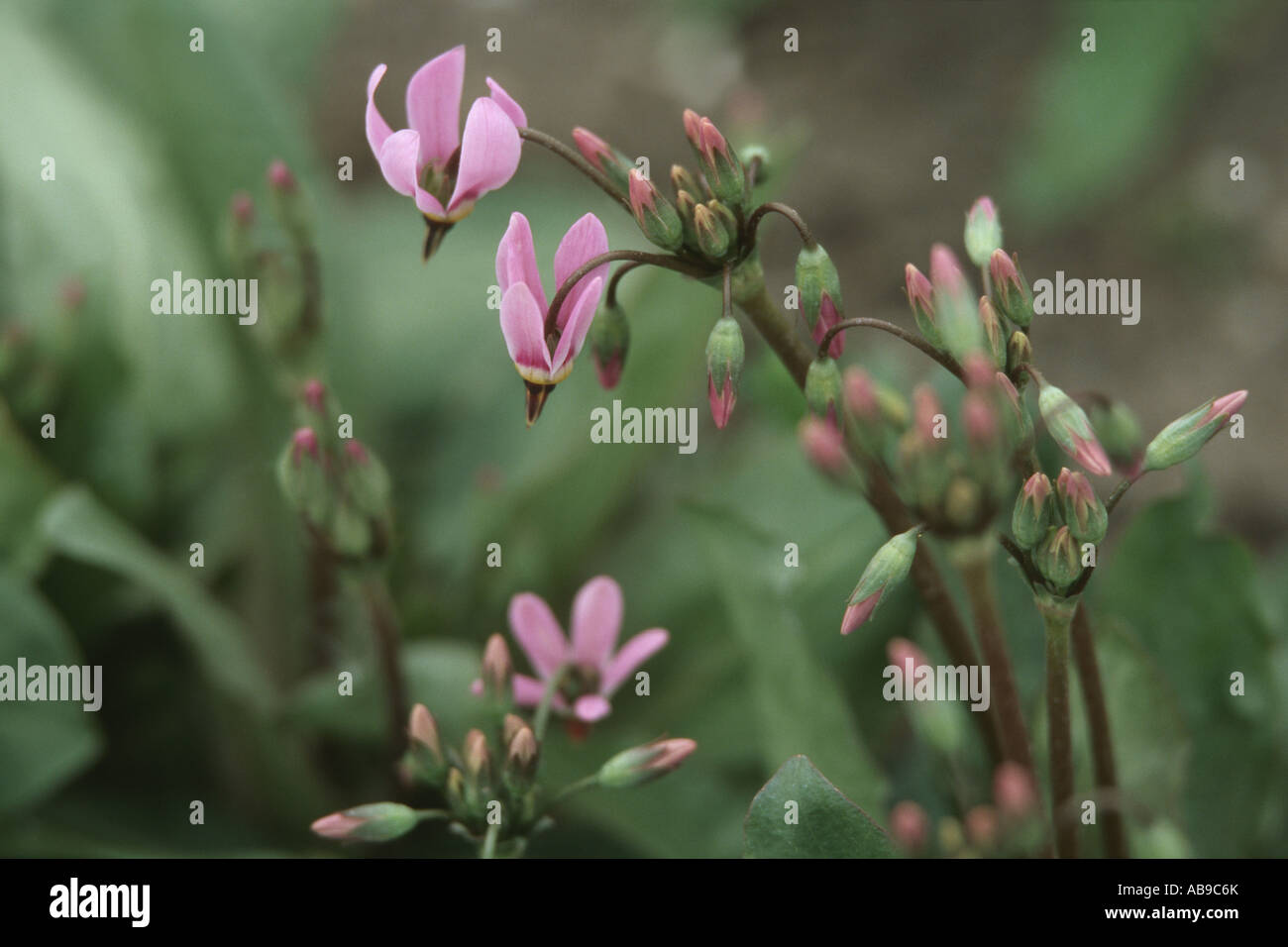 shootingstar, American cowslip (Dodecatheon meadia), blooming plant - Stock Image
