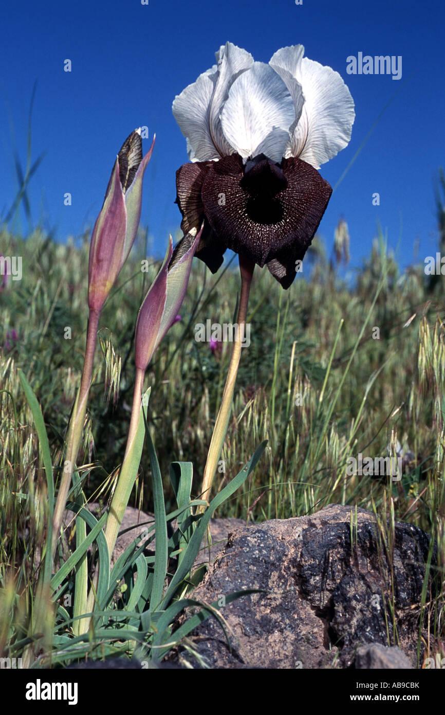 bearded iris (Iris elegantissima, Iris iberica ssp. elegantissima), White lily from Ararat, Turkey, Ararat Stock Photo