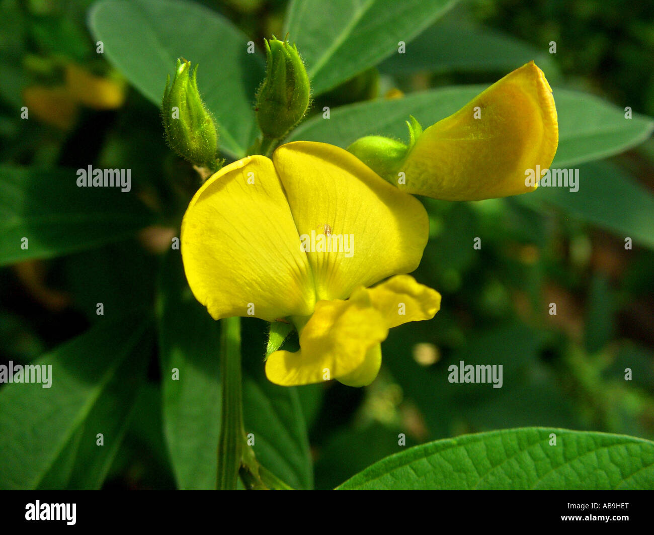 Yellow Shrub Pea Flower Stock Photos Yellow Shrub Pea Flower Stock