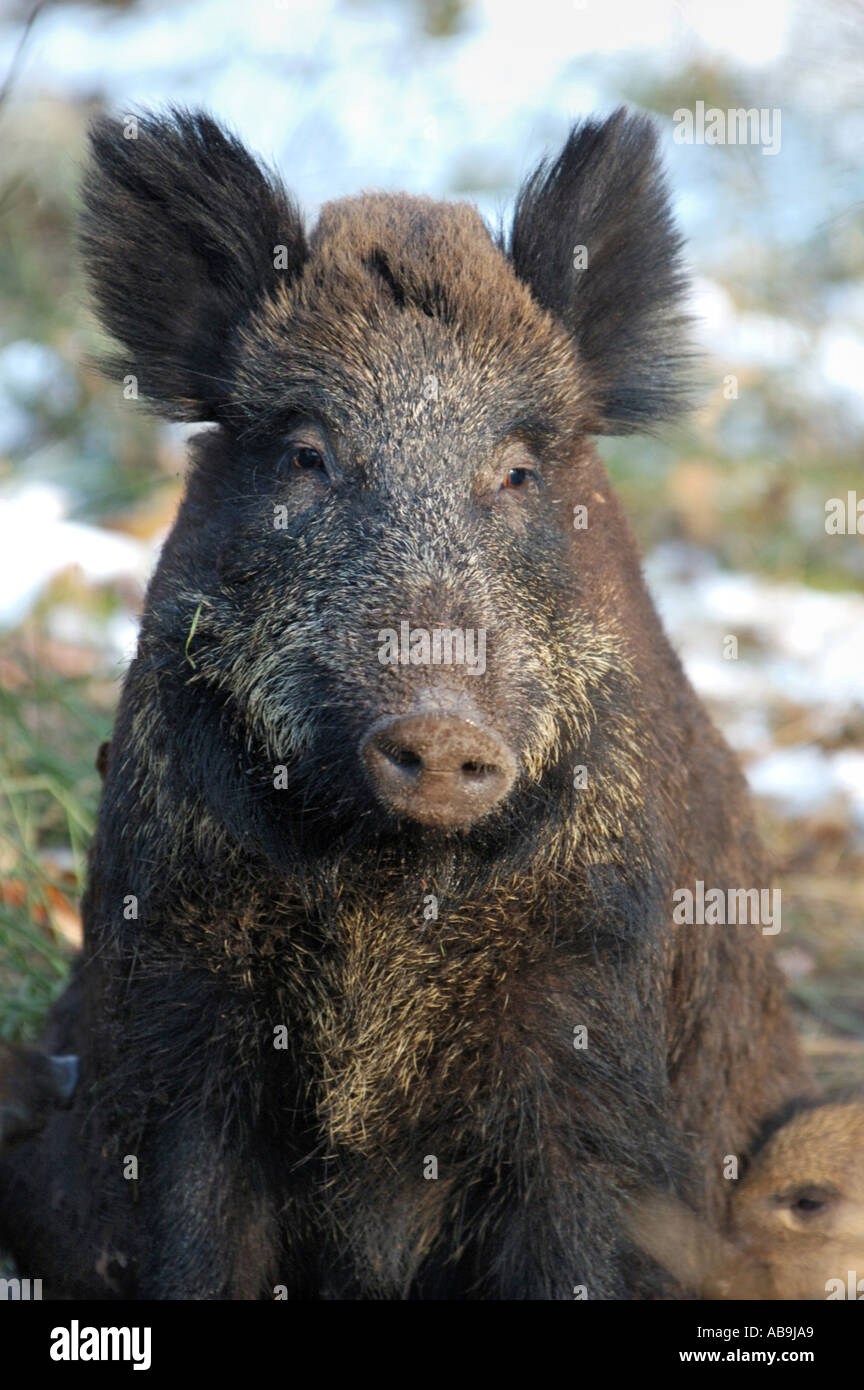 Pig Parts Stock Photos & Pig Parts Stock Images - Alamy