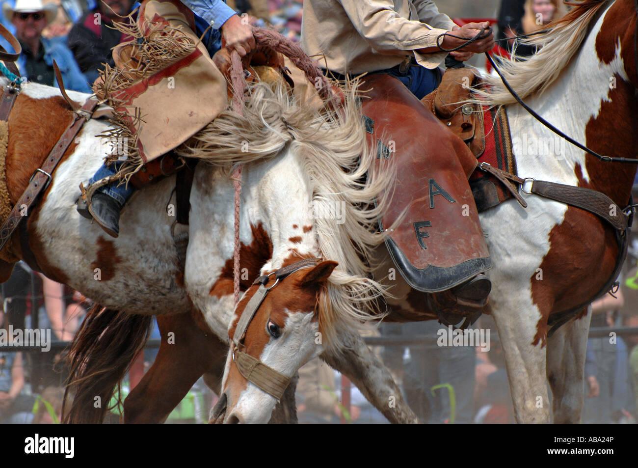 A Saddle Bronc Bucking - Stock Image