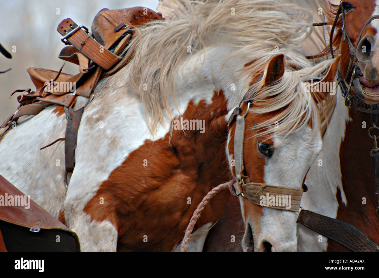 An untaimed Saddle Bronc Bucking at a rodeo competition. - Stock Image