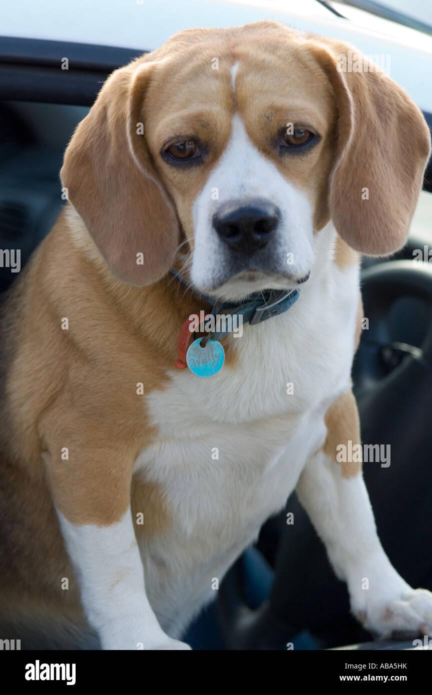 Beagle (Canis familiaris) looking through the car window, Tasmania, Australia - Stock Image