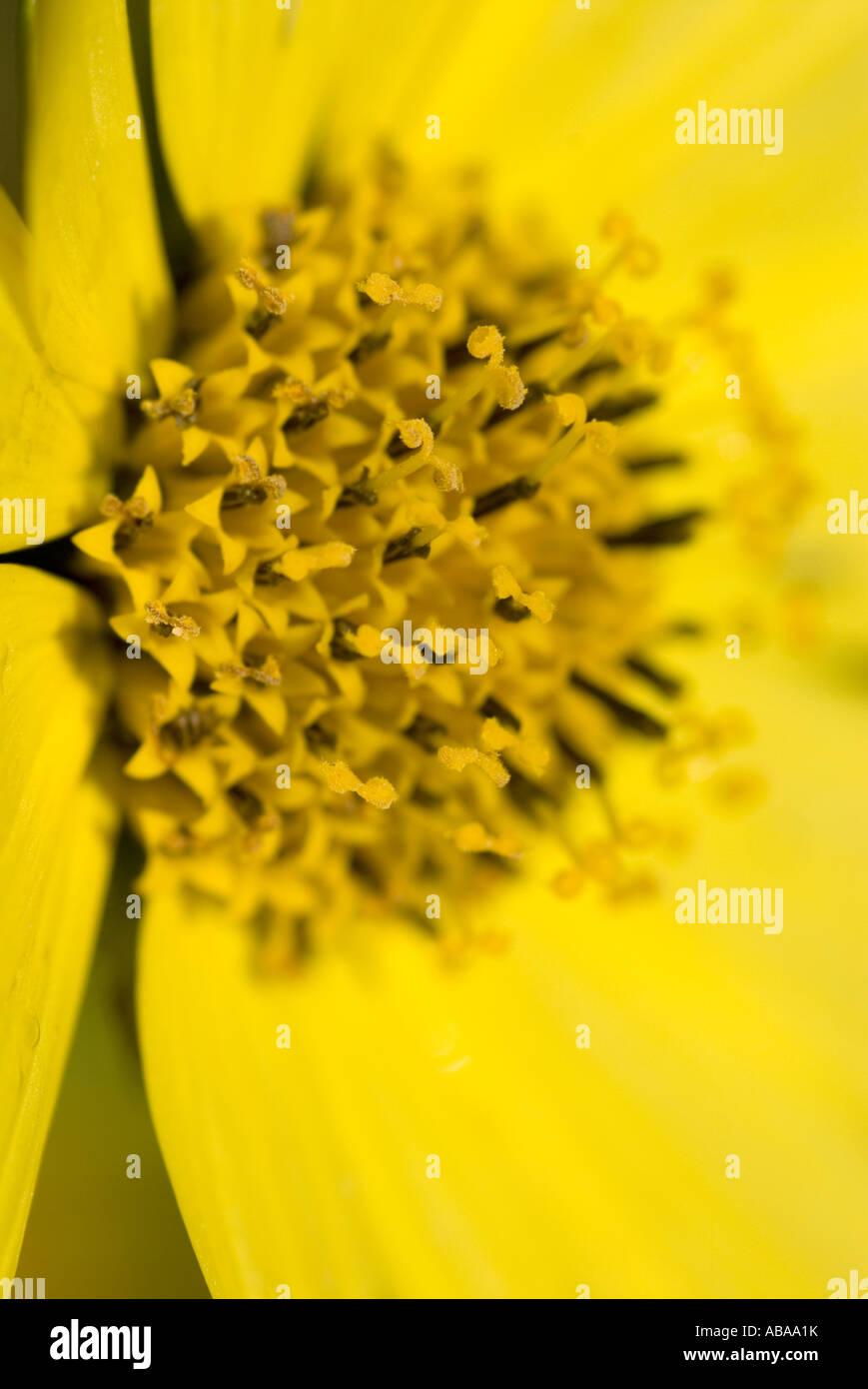 helinium moonwalker yellow flower heads Stock Photo
