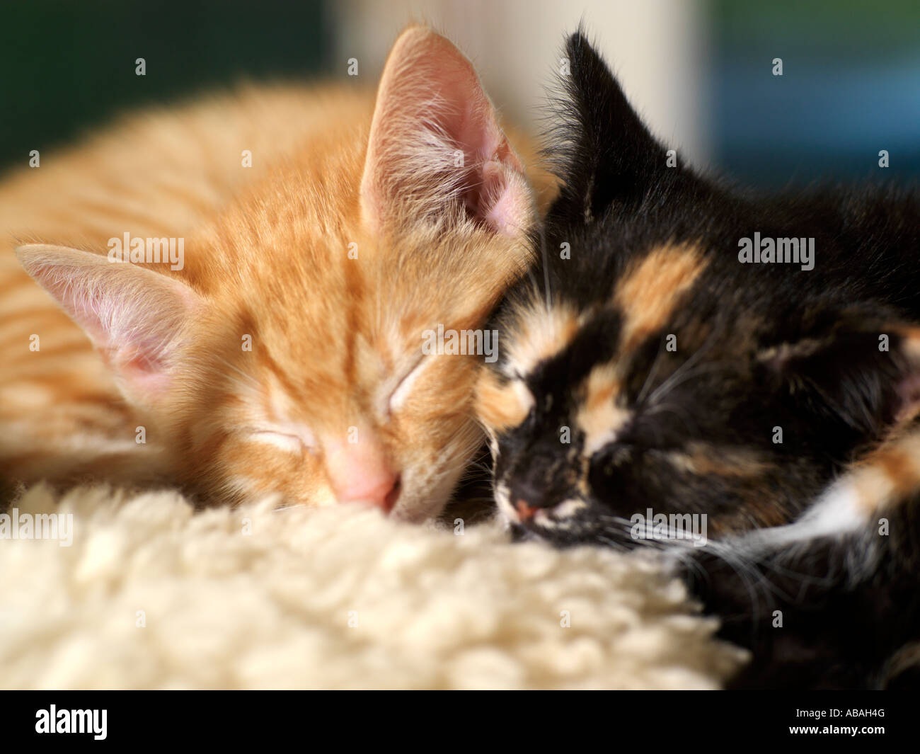 Two Eight Week Old Kittens Asleep Ginger and Tortoiseshell - Stock Image