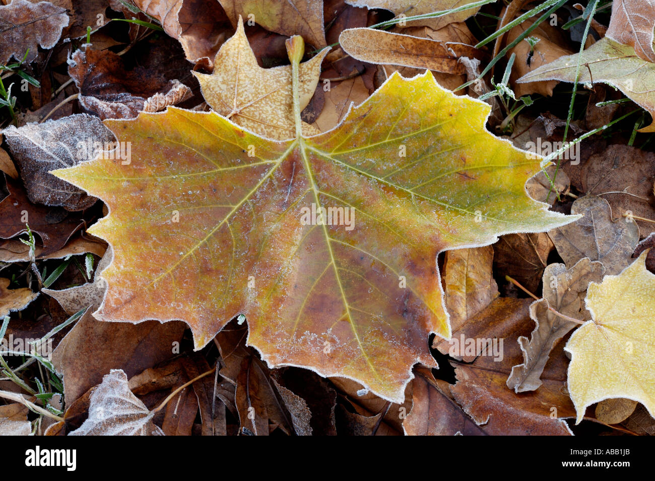 Frosted Autumn Leaves - Stock Image