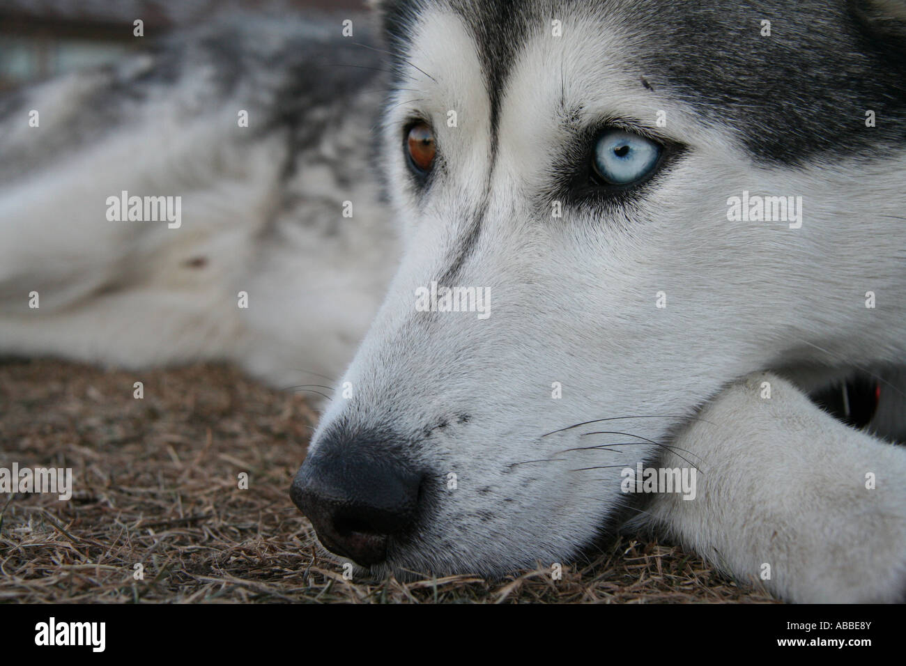 Wolfe - Stock Image