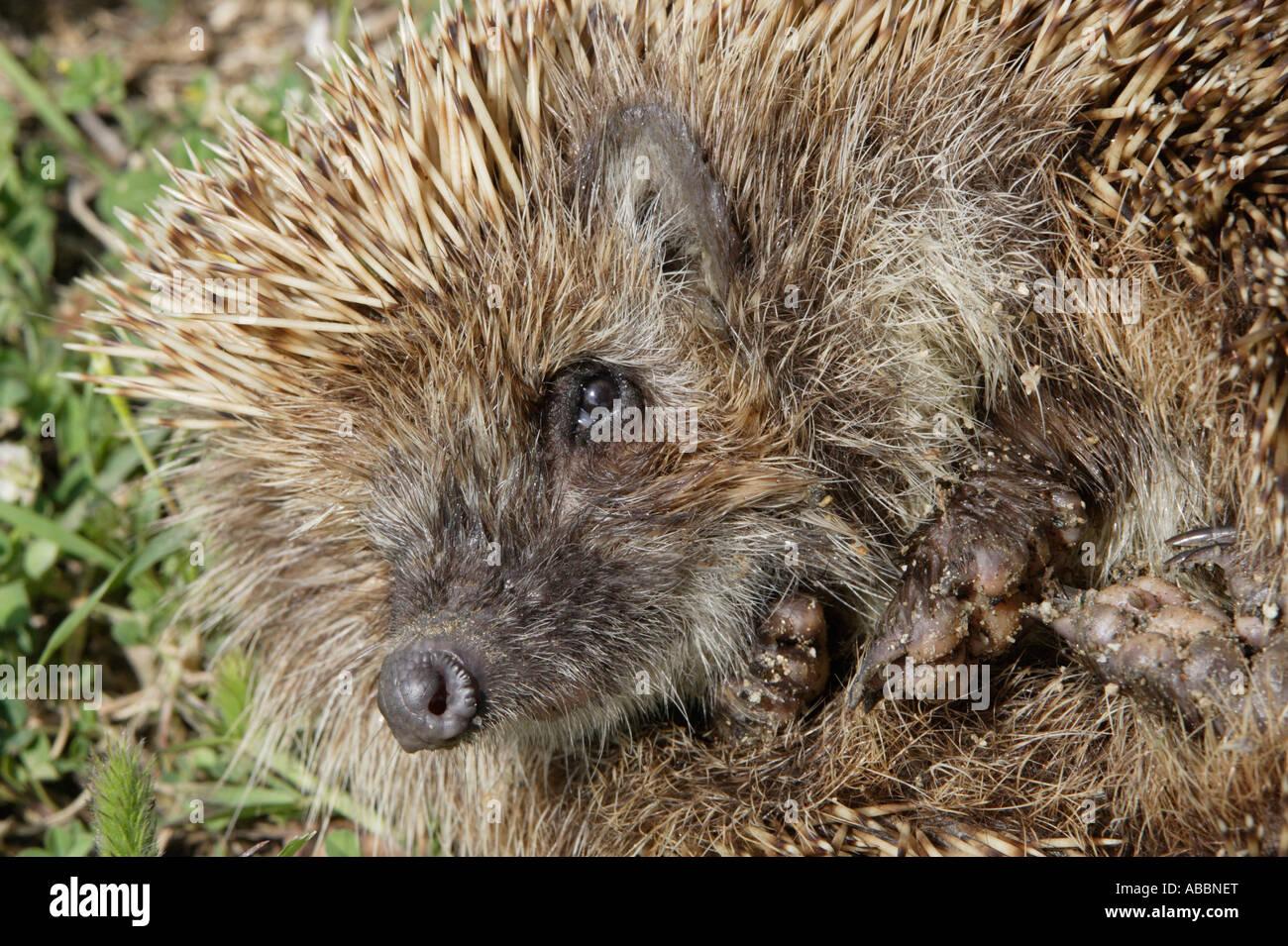 Eastern Hedgehog - Stock Image
