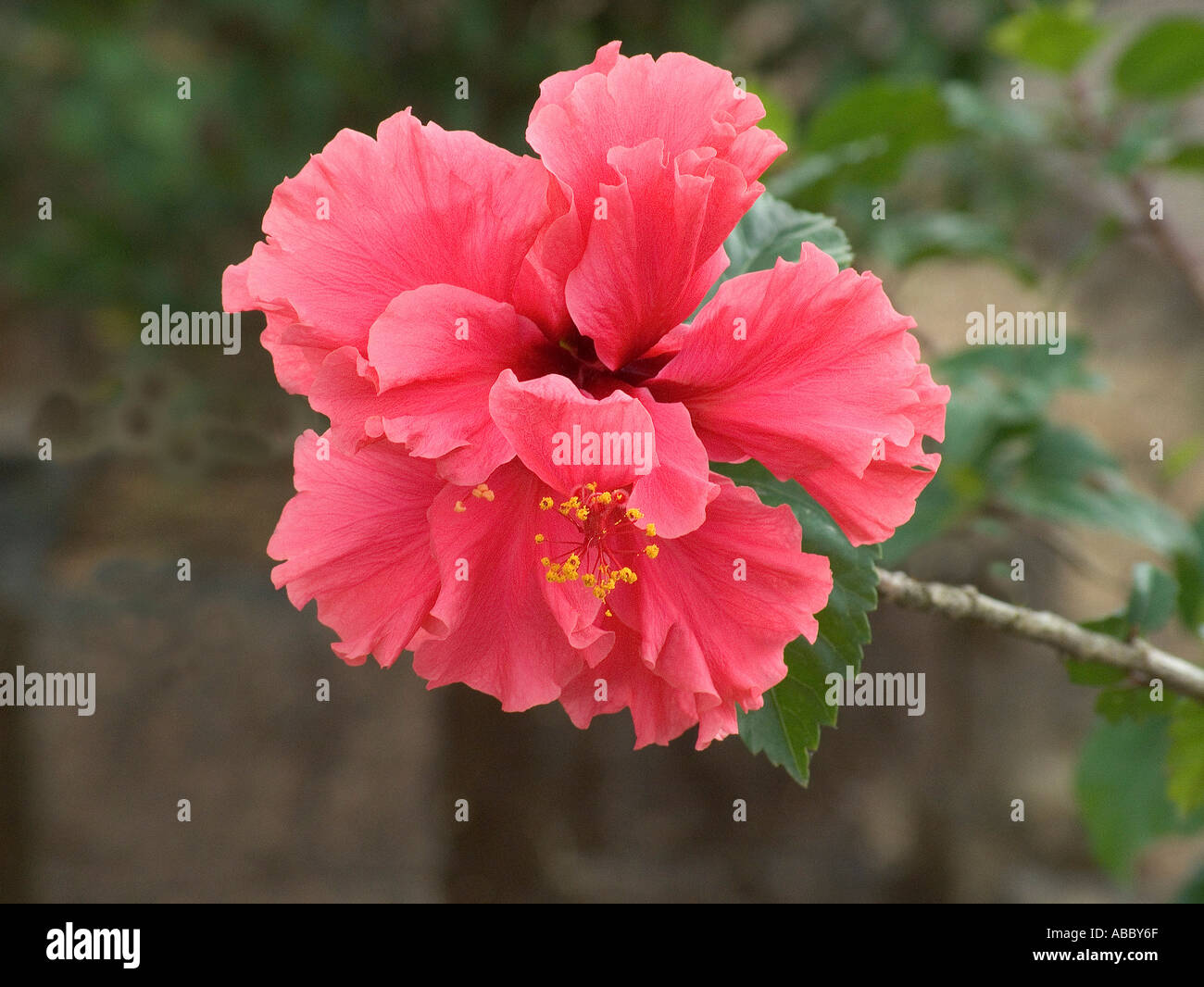 AHP70228 Hibiscus red color flower green leaf Show flower family ...