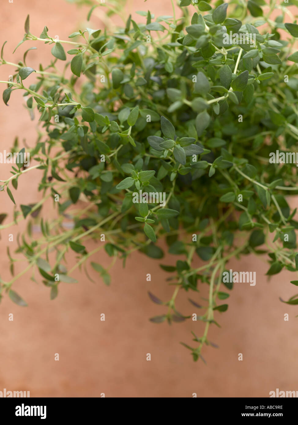 Thyme shot with Hasselblad medium format pro digital - Stock Image