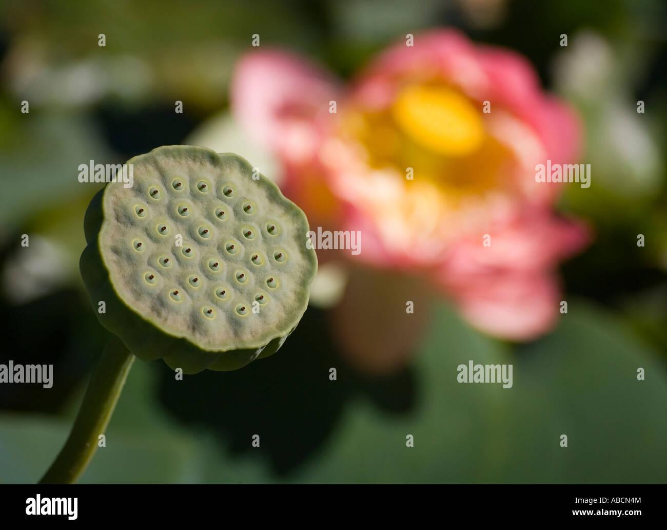 Lotus Seed Pod Bloom