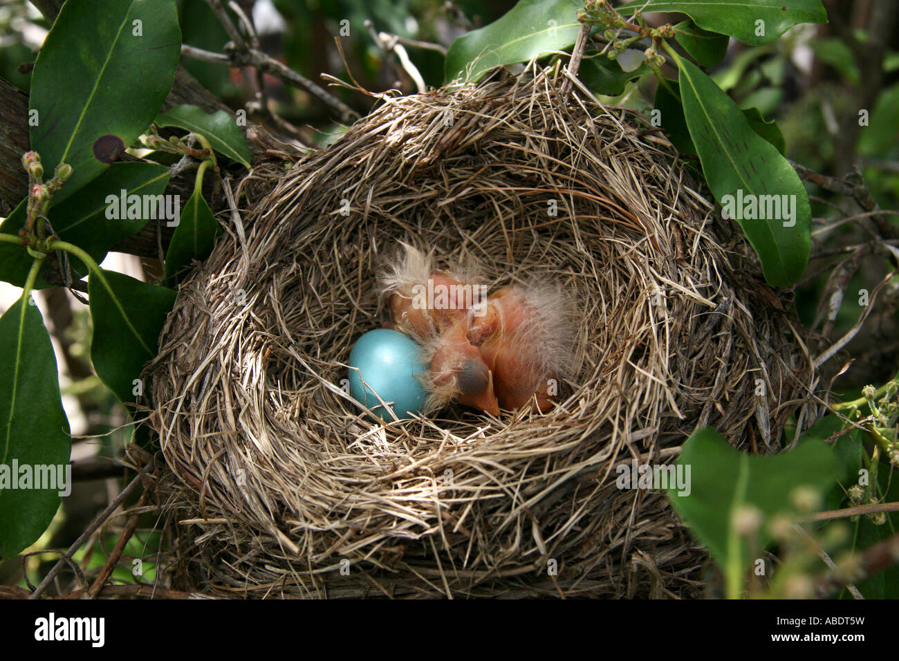 American Robin Chicks