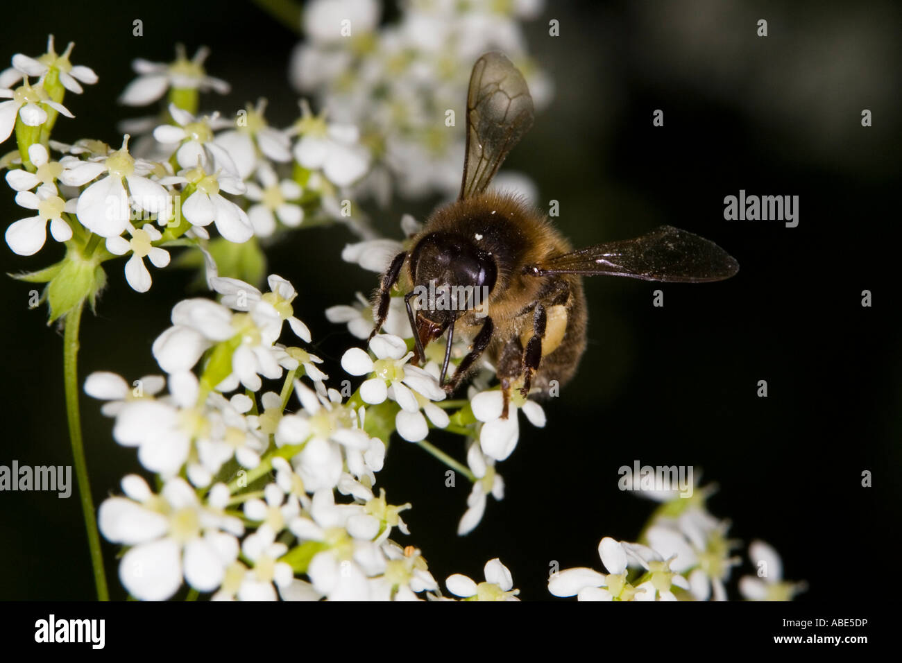European Honeybee (Apis mellifera) feeding on umbellifera flower - Stock Image