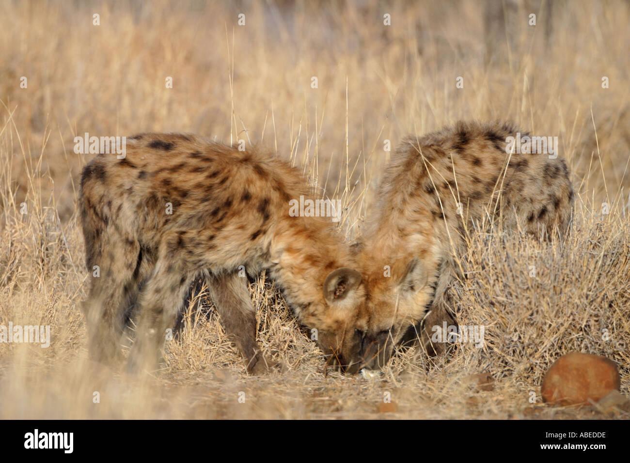 hyaena young plying - Stock Image