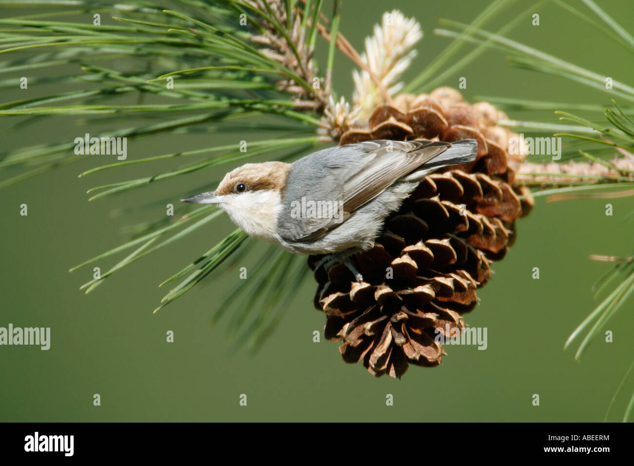 Brown headed Nuthatch perching on Pine Cone - Stock Image