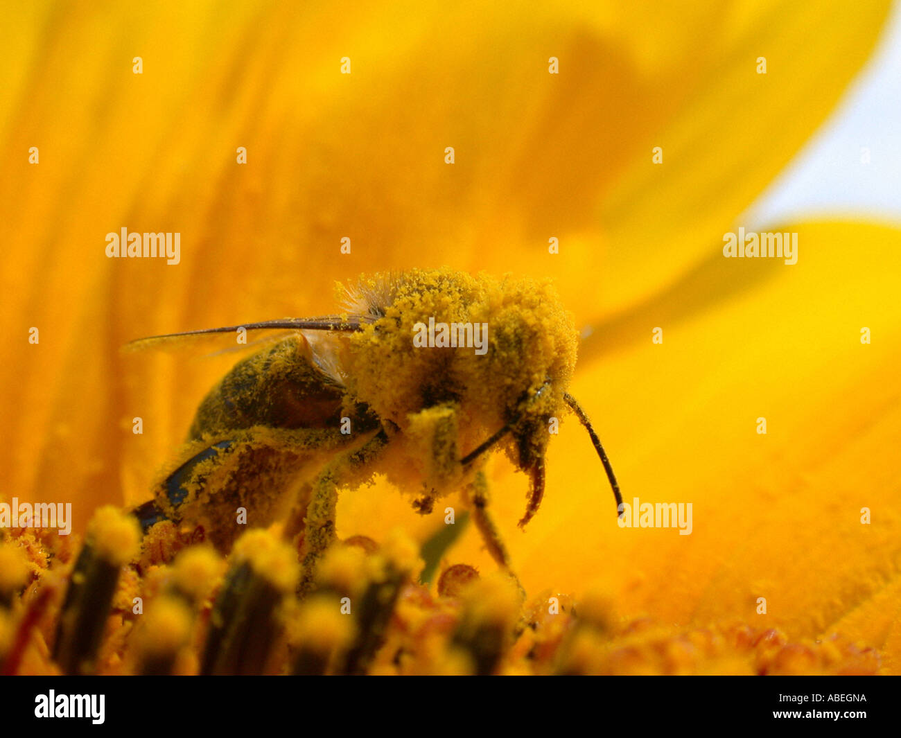 Bee collects pollen - Stock Image