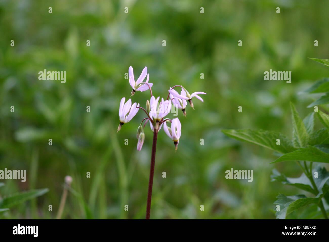 Shooting Star blossoms - Stock Image