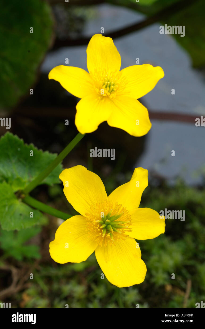 Marsh Marigold Caltha Palustris Yellow fresh Water Kingcup Flower Plant Common Wet Woodlands Marshes Ditches Bright Golden wild Stock Photo