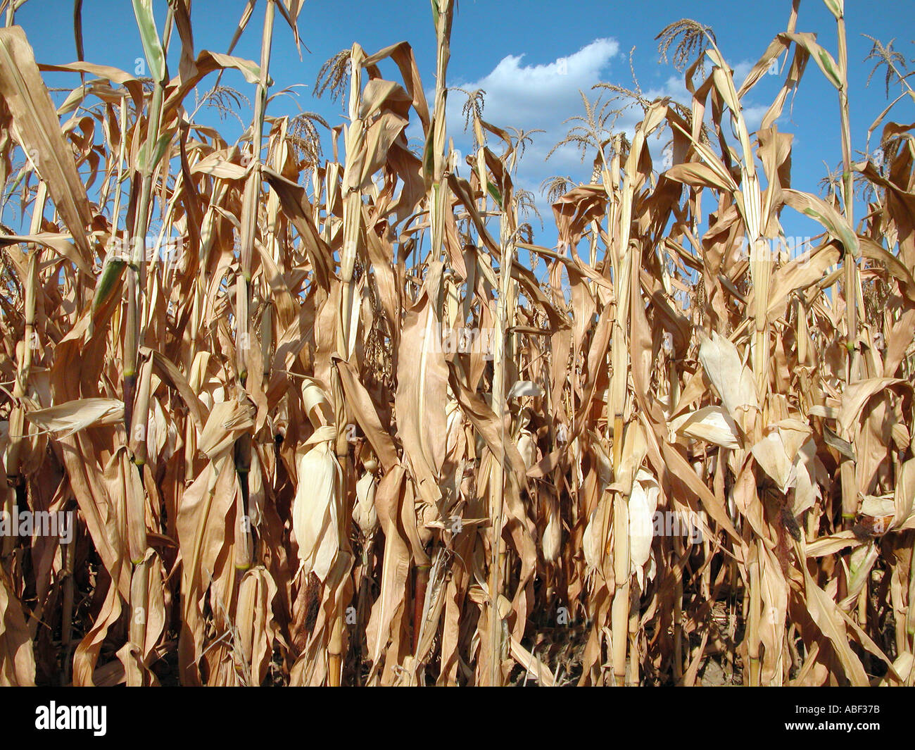 scarcity of water dried plants - Stock Image