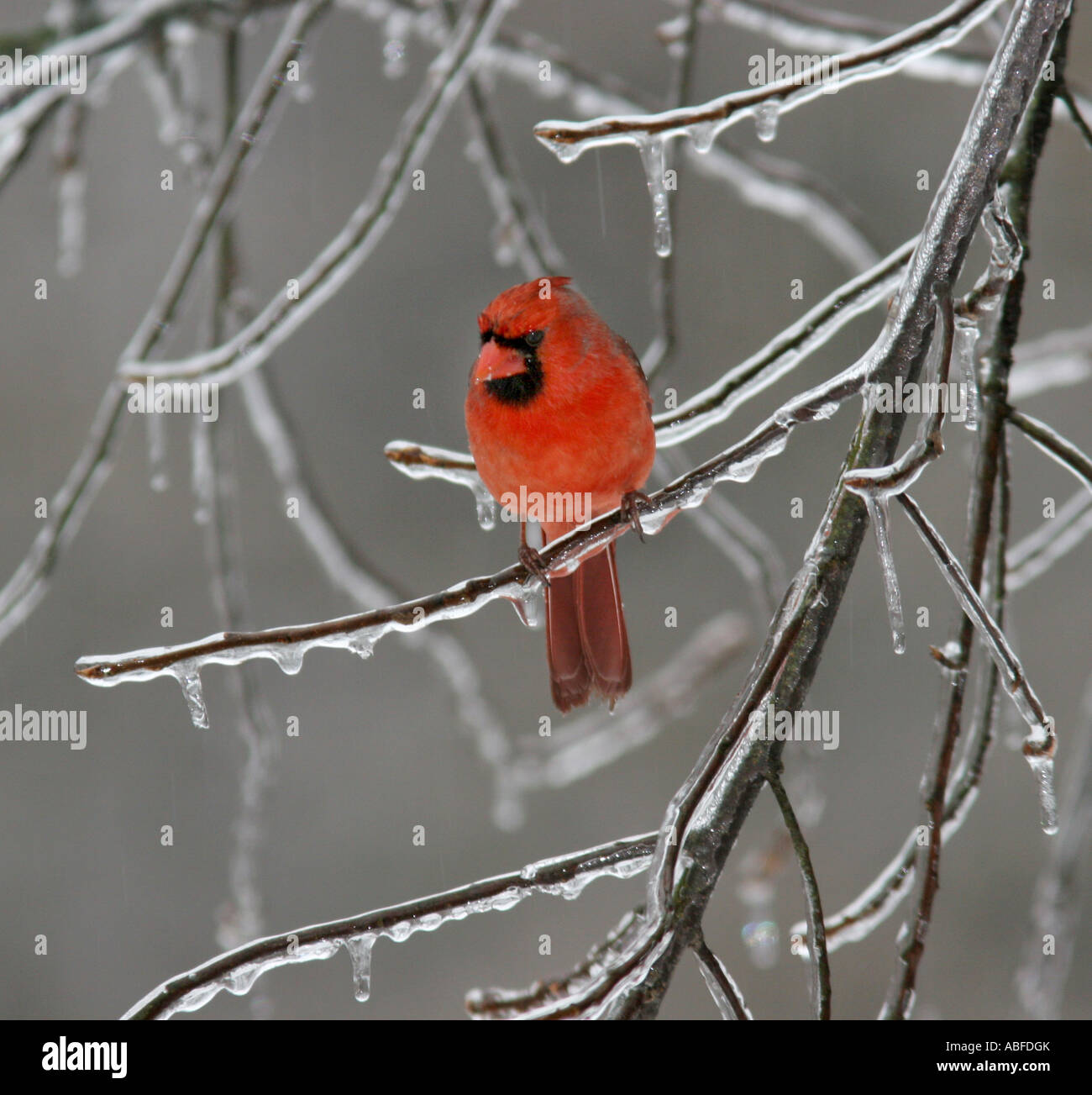 cardinal male ice covered grass branch - Stock Image