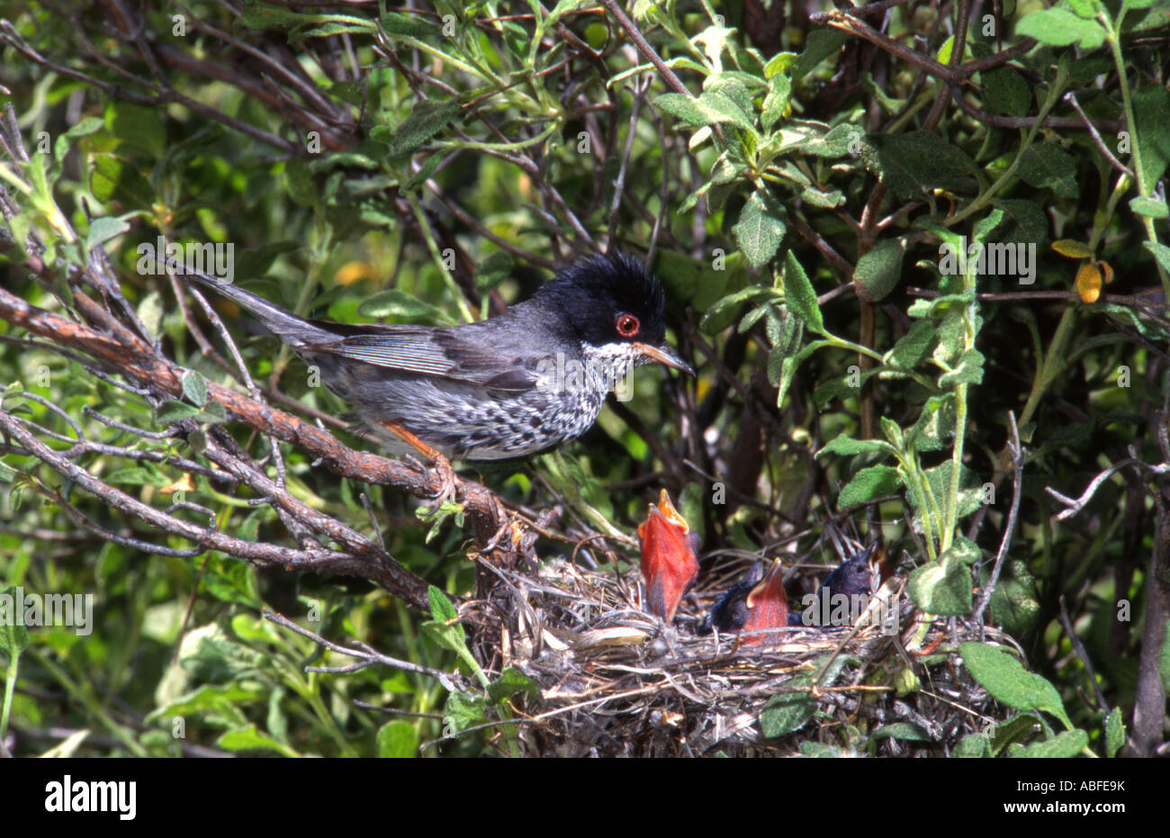 Cyprus Warbler. Male at nest with young Cyprus Stock Photo