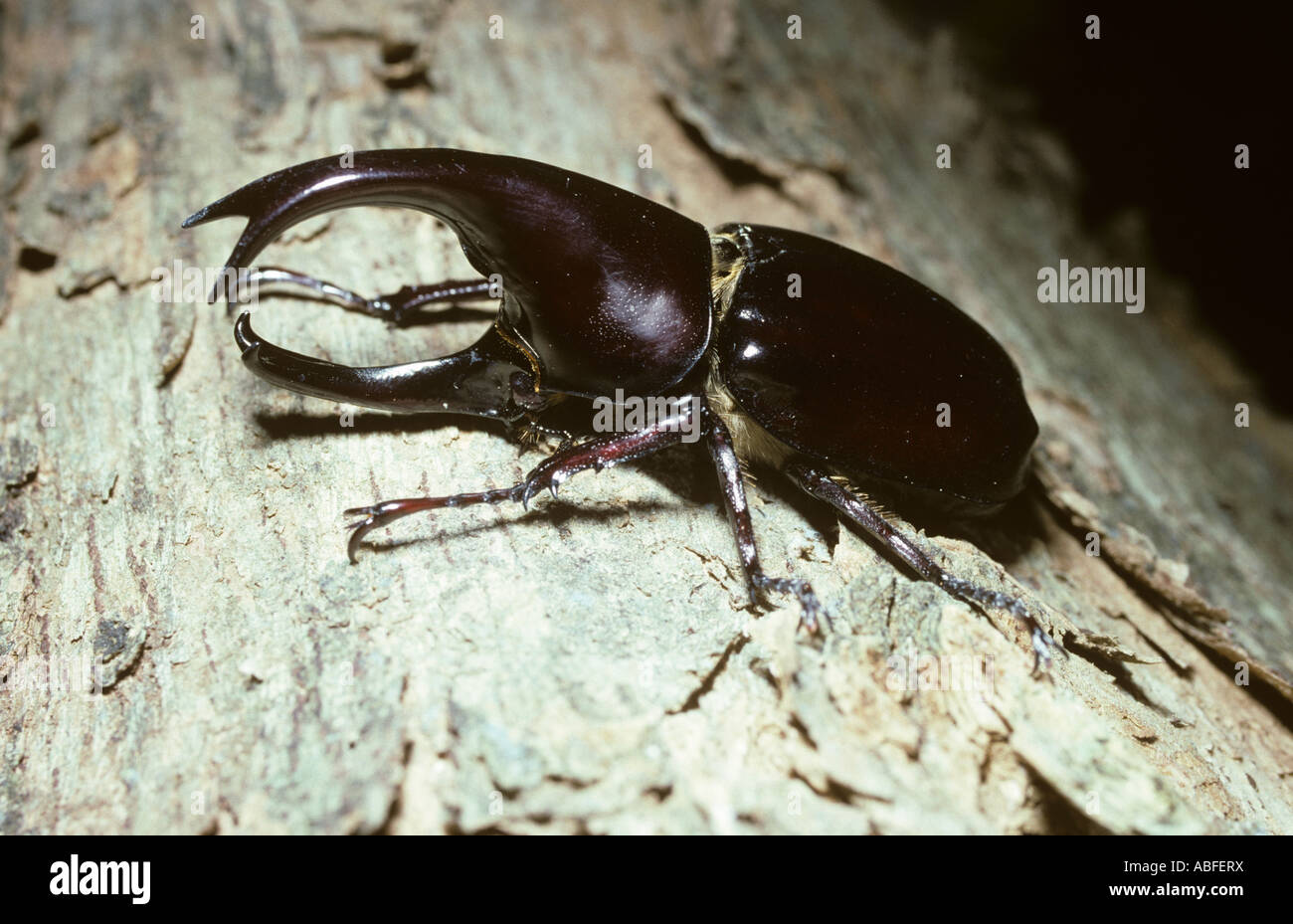 Rhinoceros beetle Xylotrupes gideon Scarabaeidae in rainforest Sulawesi - Stock Image