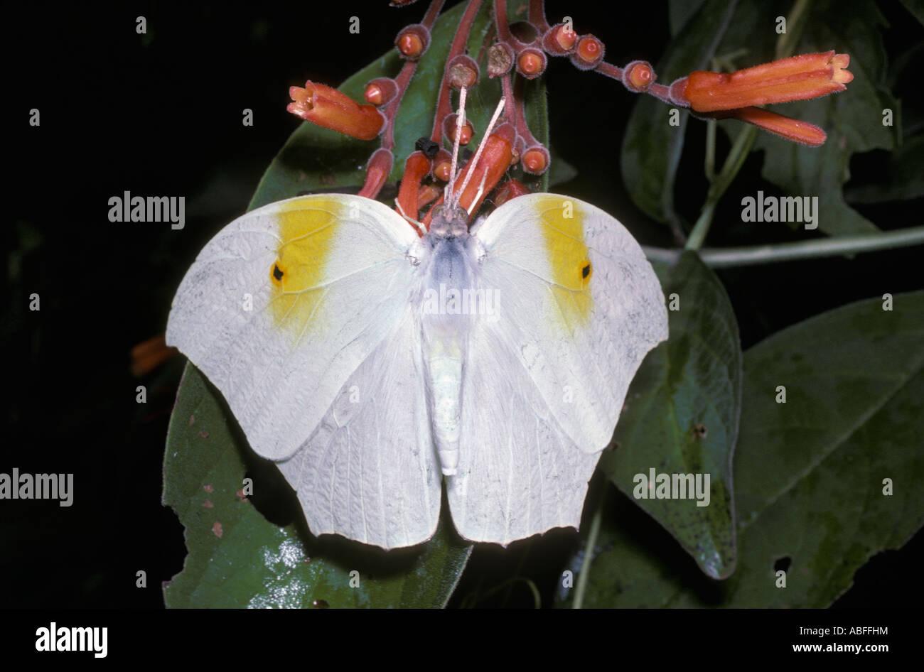 Ghost brimstone butterfly Anteos clorinde Pieridae Mexico - Stock Image