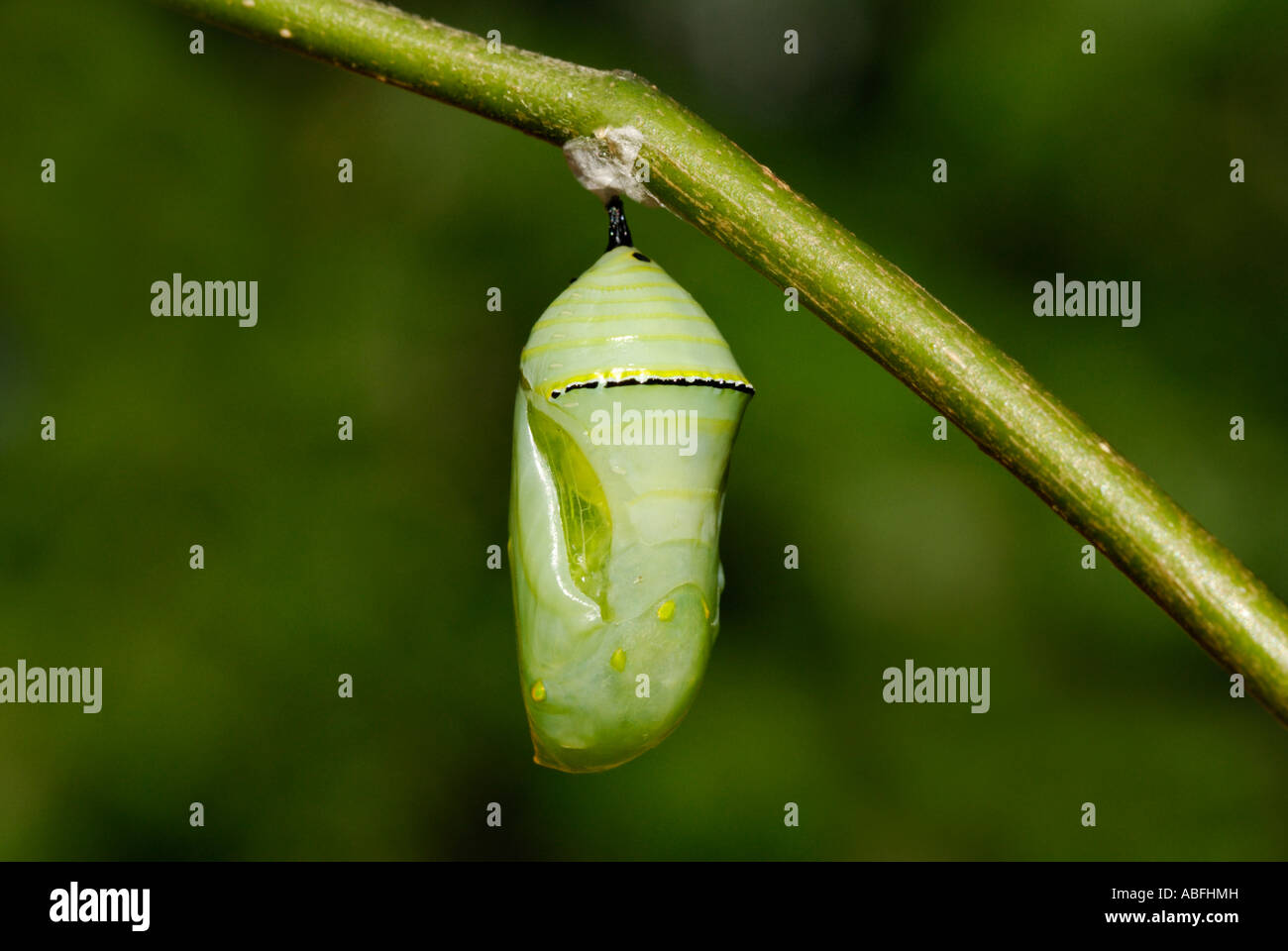 Monarch butterfly Danaus plexippus pupa hanging from a milkweed Asclepias sp branch - Stock Image