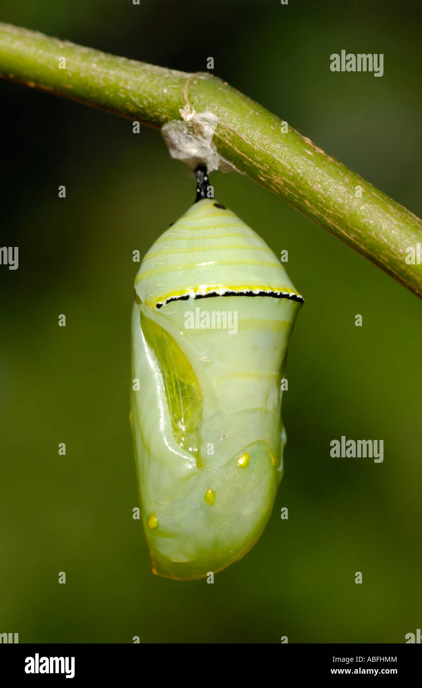 Monarch butterfly Danaus plexippus pupa hanging from a milkweed Asclepias sp branch. - Stock Image