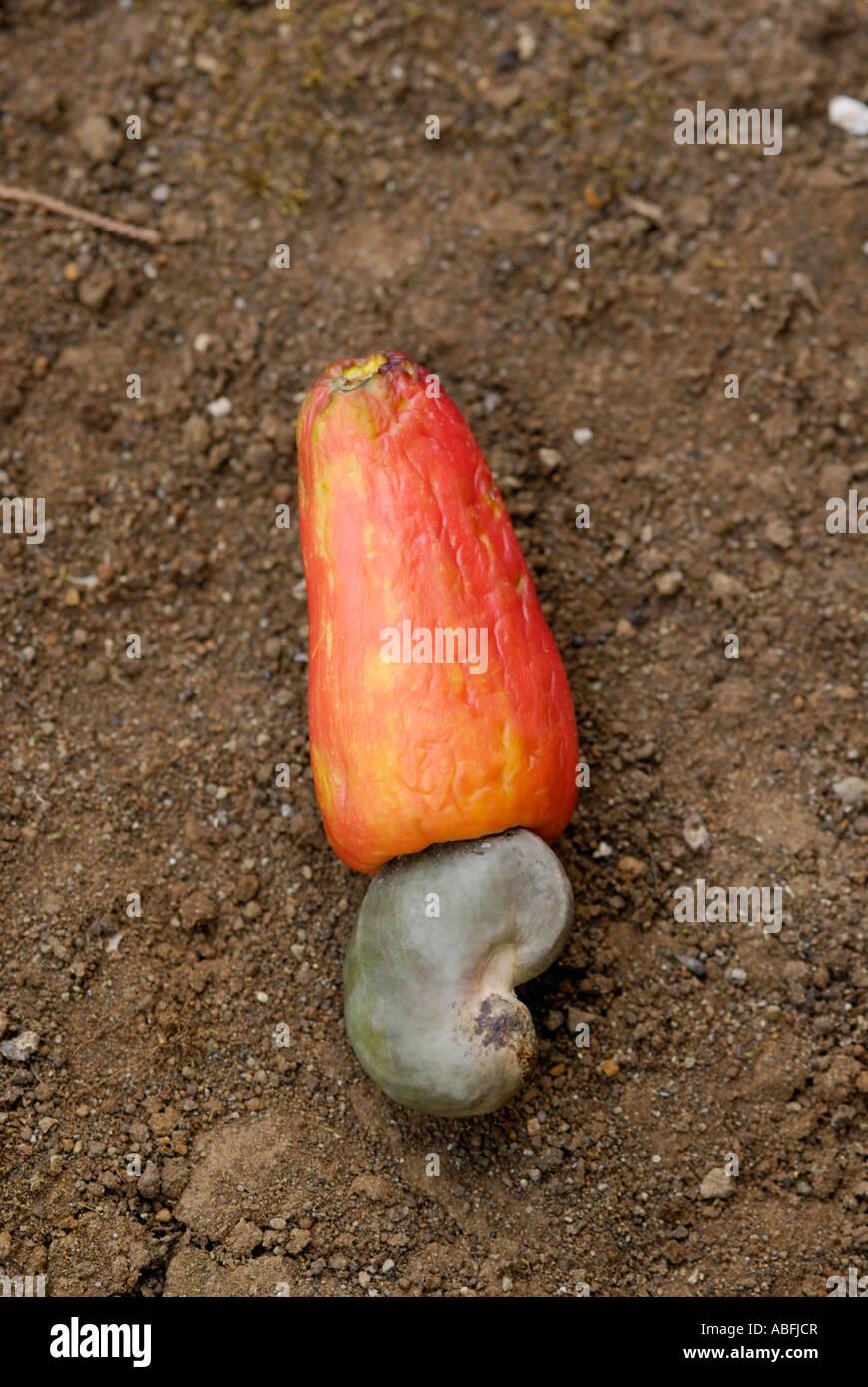 The fruit of the cashew Anacardium occidentale showing the nut and the false fruit - Stock Image