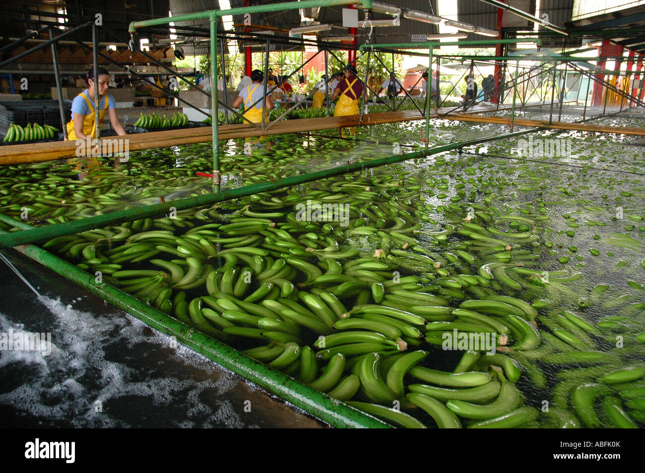 Workers process freshly harvested bananas at a Dole banana plantation northeastern Costa Rica. - Stock Image