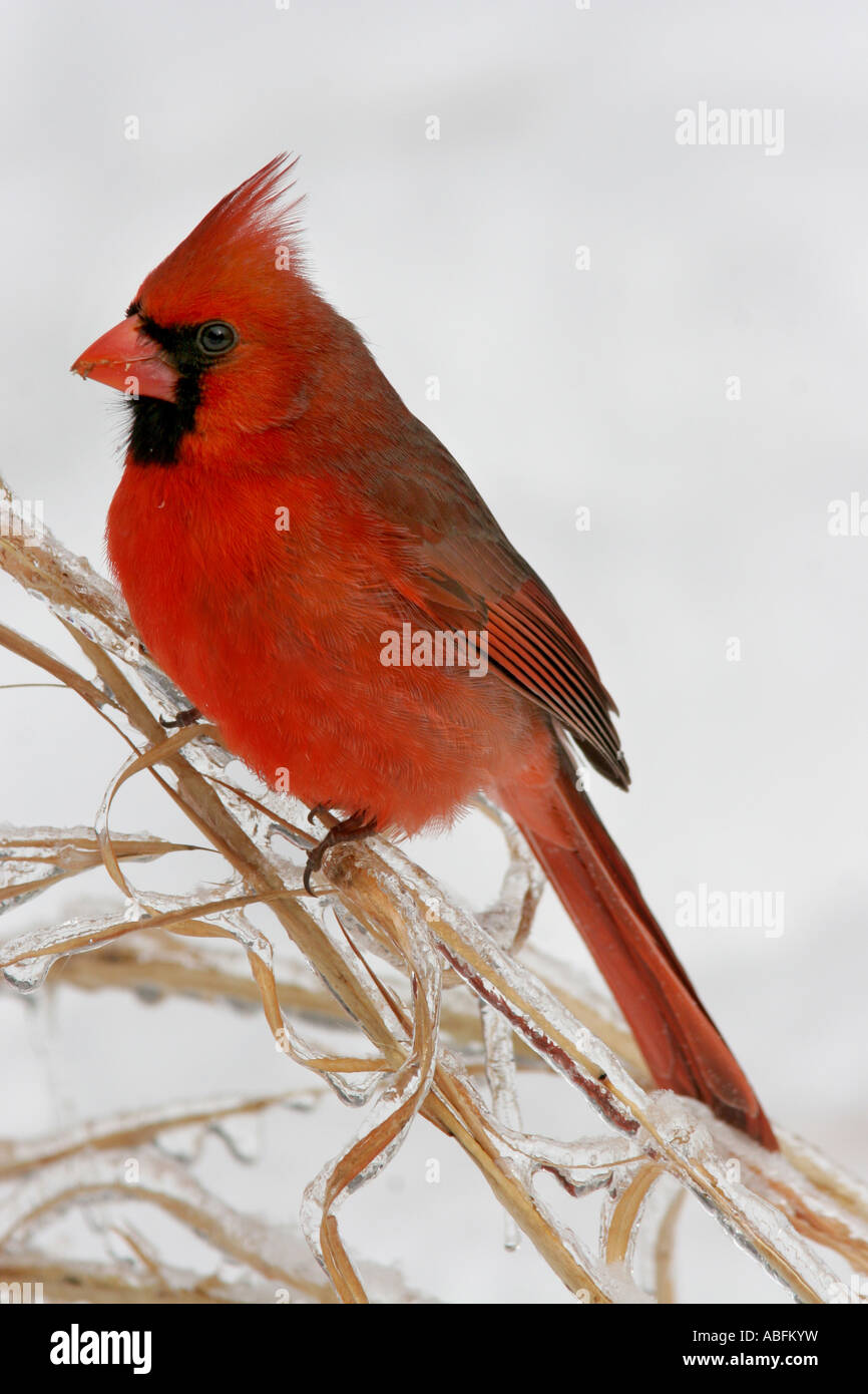 cardinal male ice covered grass - Stock Image