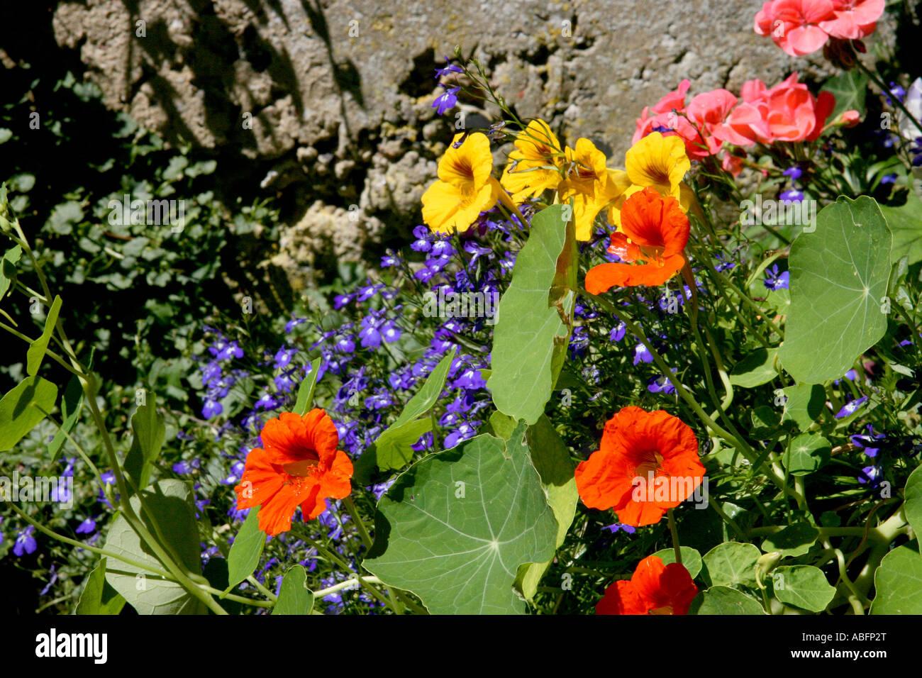 Summer Flowers In The Sun Lobelia Lobelia Erinus Nasturtium Stock