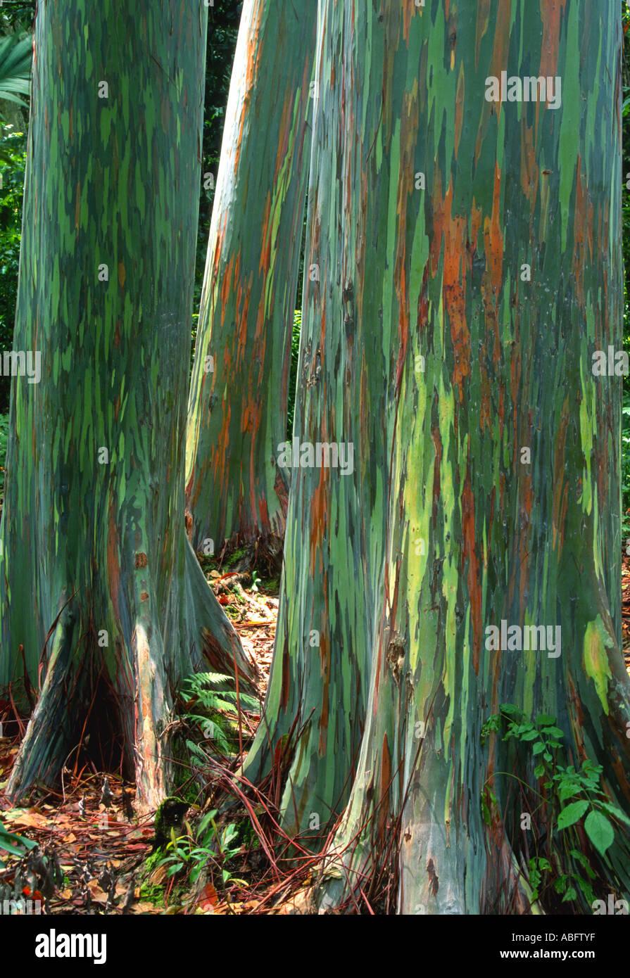 Eucalyptus deglupta is a tall tree, commonly known as the rainbow eucalyptus, Mindanao gum, or rainbow gum from Indonesia. - Stock Image