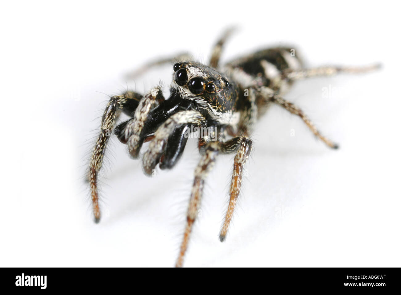 Extreme close up of a male zebra spider, Salticus Scenicus. The Zebra spider is a small jumping spider Stock Photo