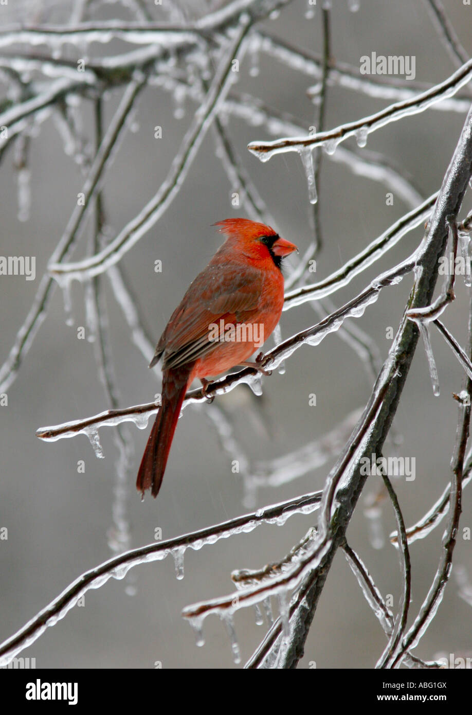 cardinal male ice covered branch - Stock Image