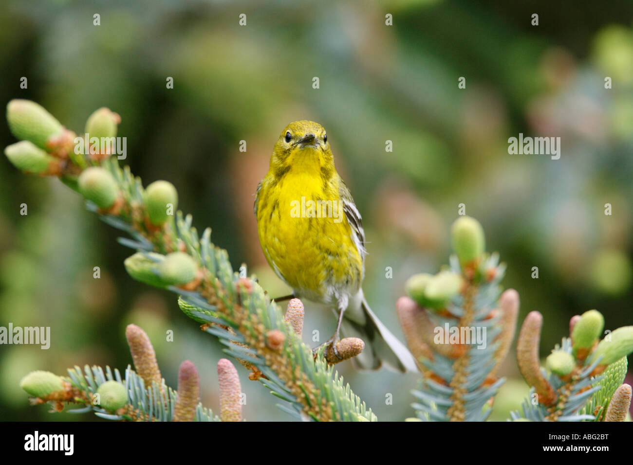Pine Warbler Perched in Alcocks Spruce - Stock Image