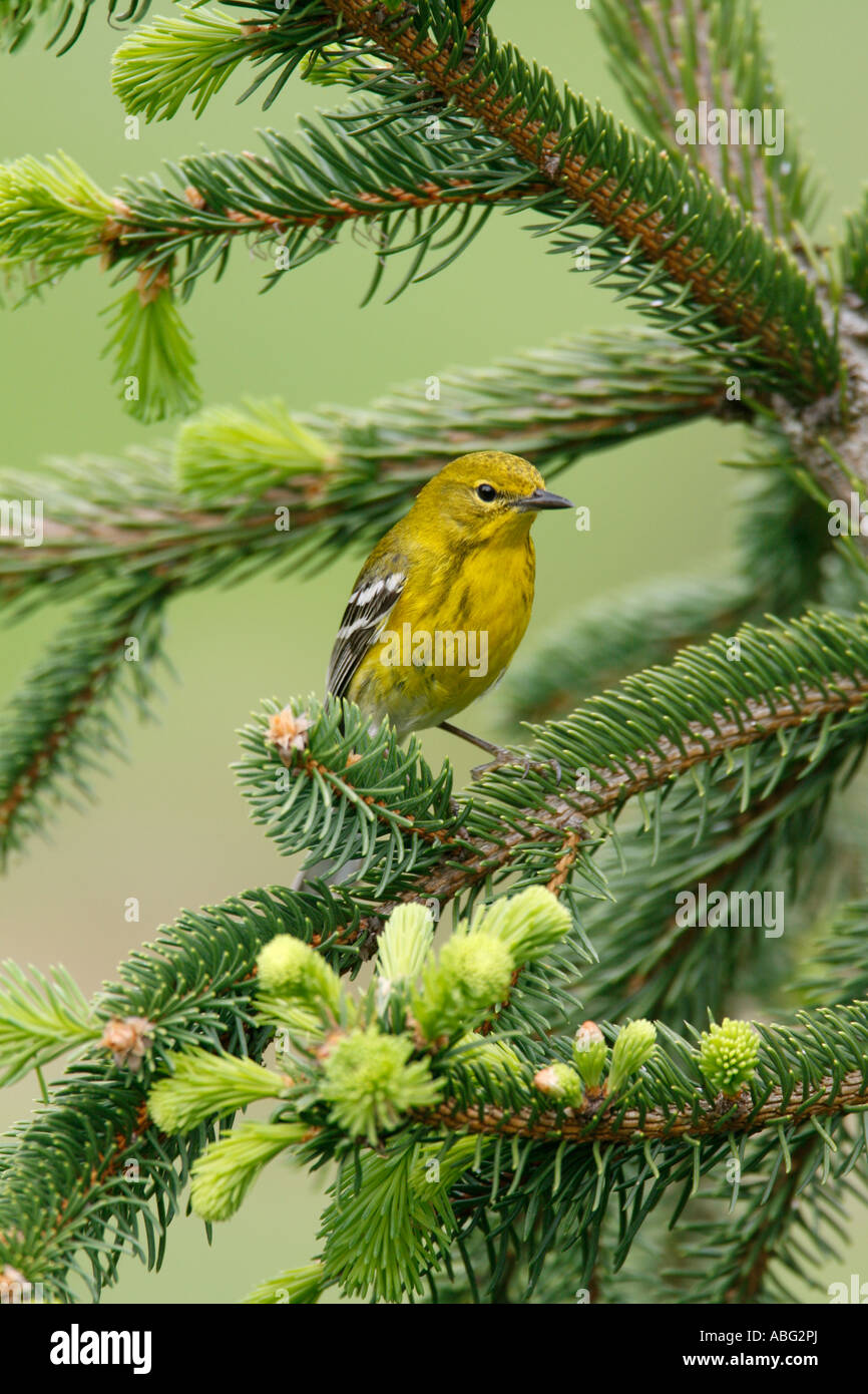 Pine Warbler Perched in Alcocks Spruce - Vertical Stock Photo