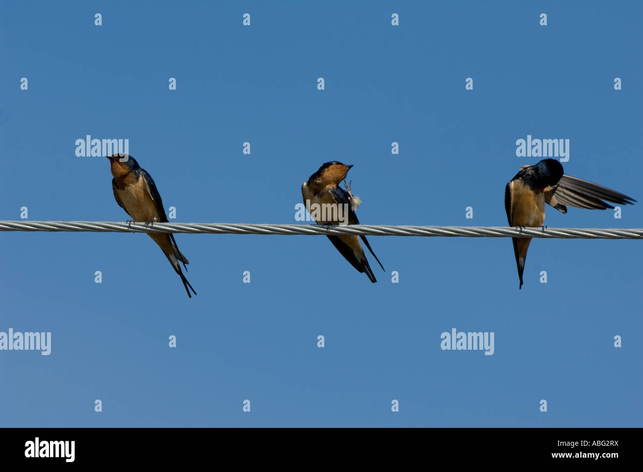 birds on a wire Barn Swallow Hirundo rustica Stock Photo: 12883645 ...
