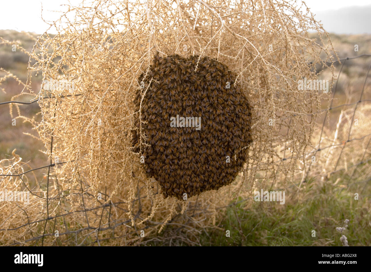 Swarm of bees in a tumble weed on a fence - Stock Image
