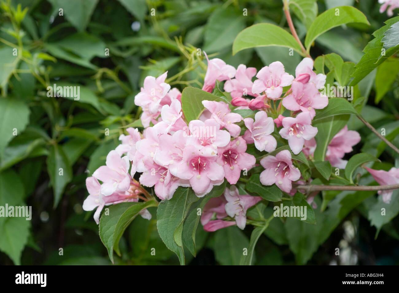 Pink Flowers On Green Bush Of Caprifoliaceae Weigela Splendid Stock