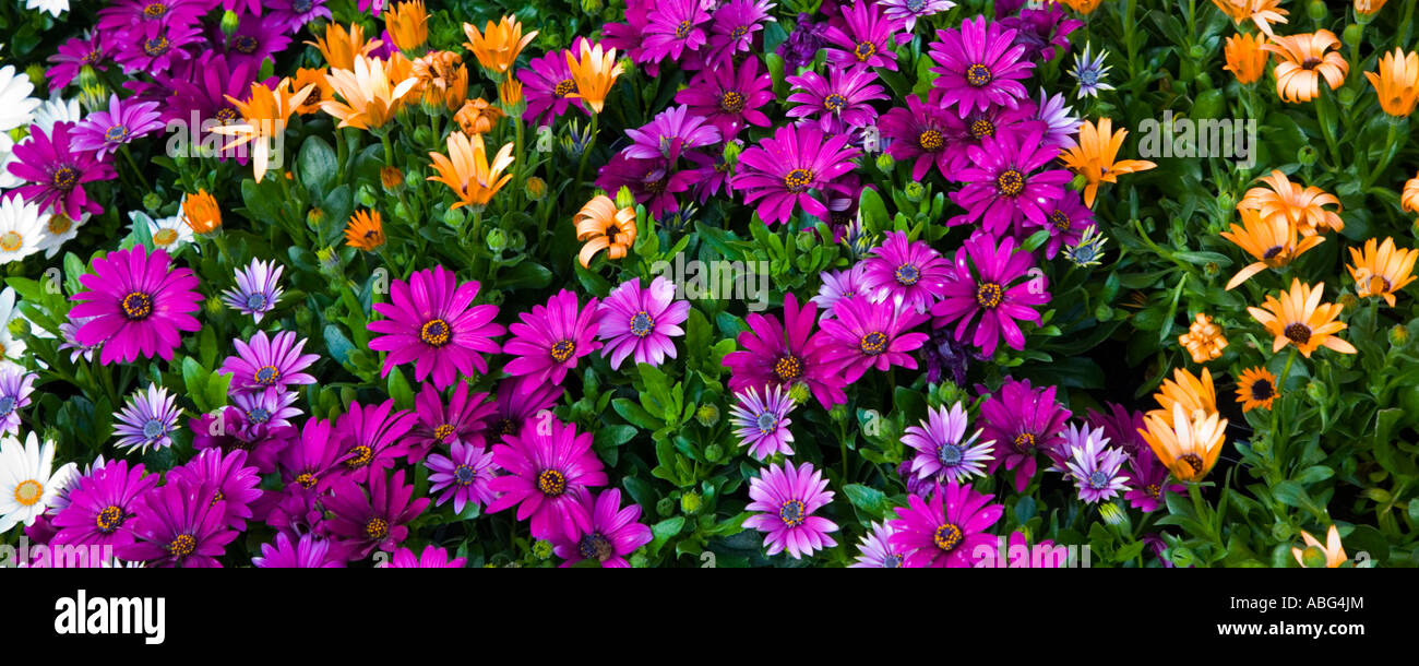 Bunches Of Colorful Tulips Stock Photos & Bunches Of Colorful Tulips ...