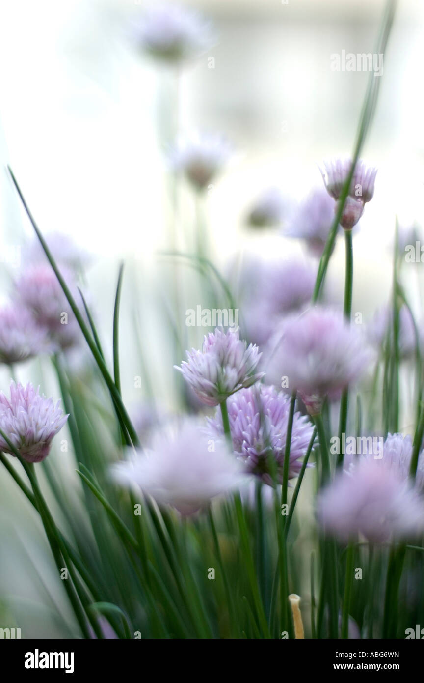 blooming chive - Stock Image