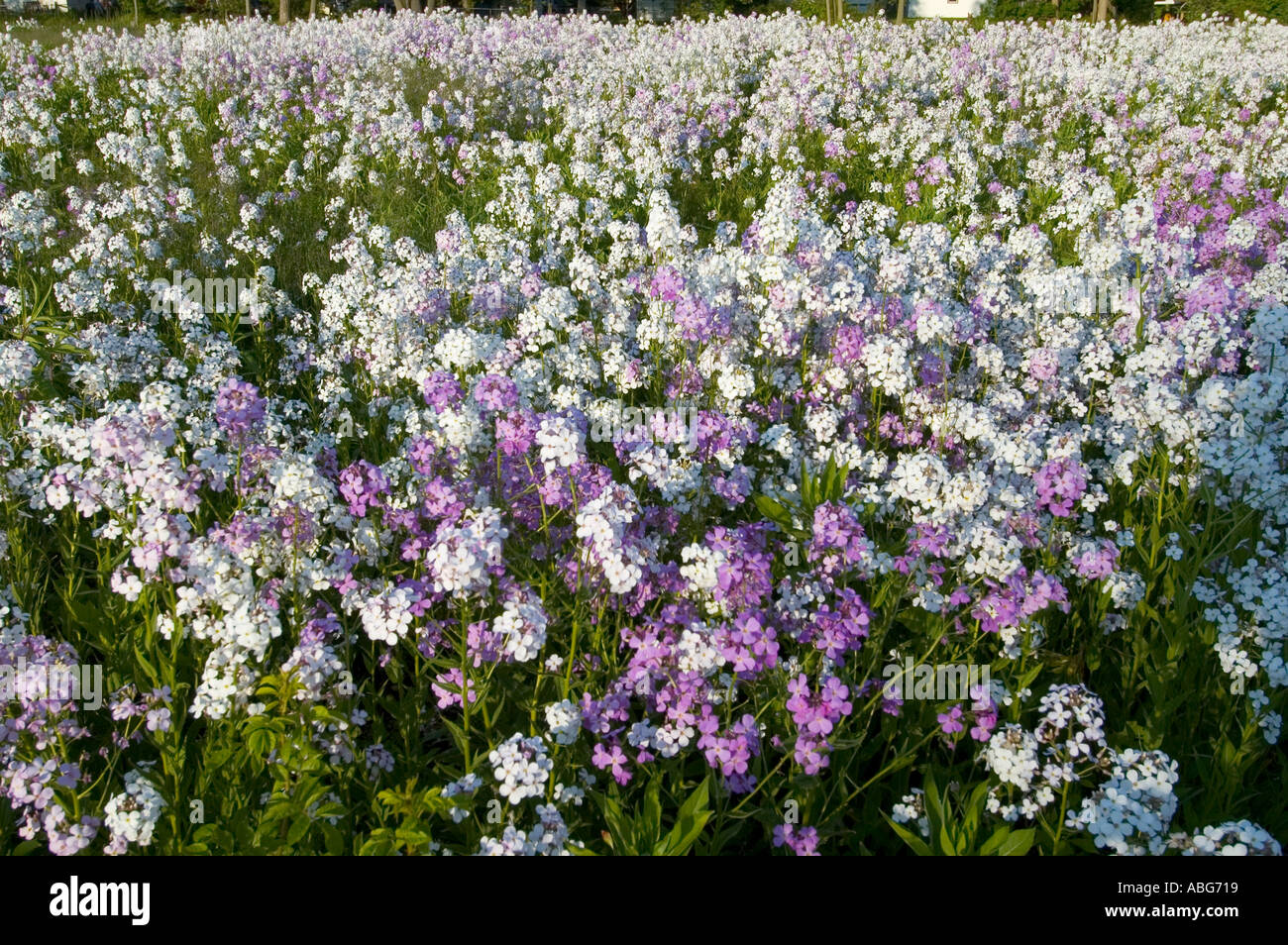 A Field Of Purple And White Wild Flowers Stock Photo 2377496 Alamy