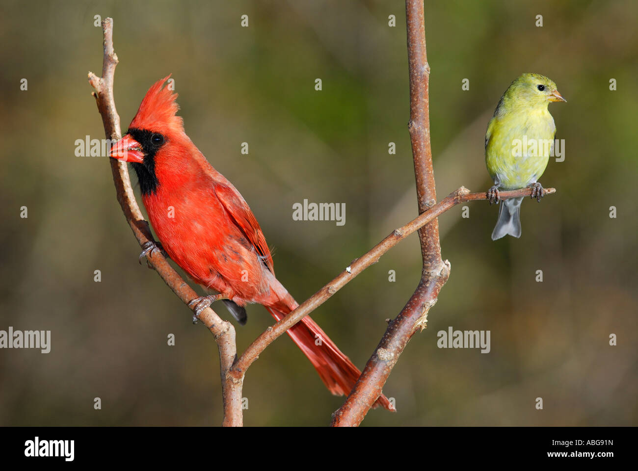 Male Northern Cardinal Cardinalis cardinalis and Female Goldfinch Spinus tristis on a branch - Stock Image